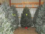 Pre-cut Fraser Fir Christmas Trees