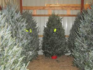 Pre-cut Fraser Fir Christmas Trees
