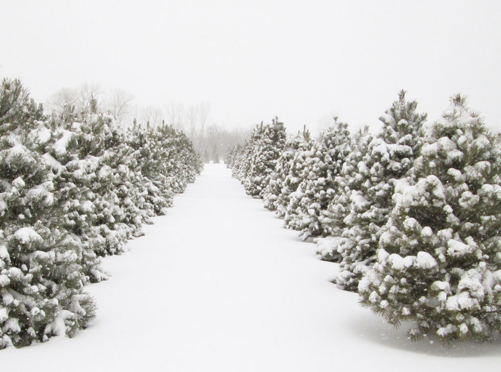 Country Christmas Trees Farm On Snowy Winter Day
