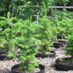 Potted Christmas Trees For Apartments